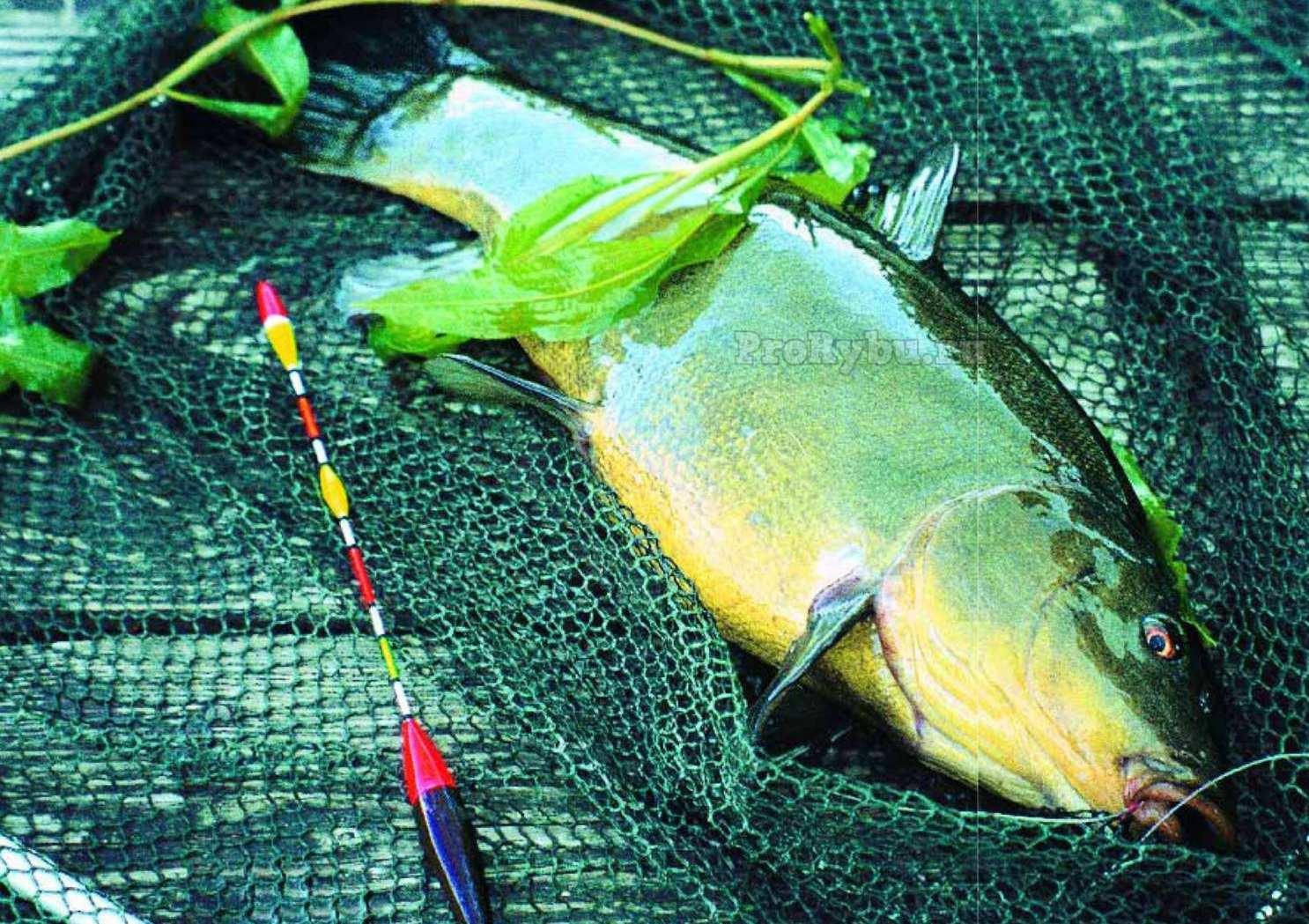 на что лучше всего клюет рыба линь и когда