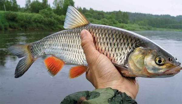 Ловля голавля весной на малых реках ранней весной