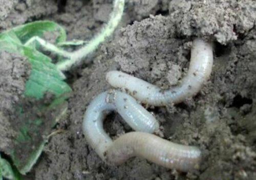 Белый червь фото