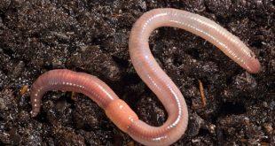 Земляной червь фото