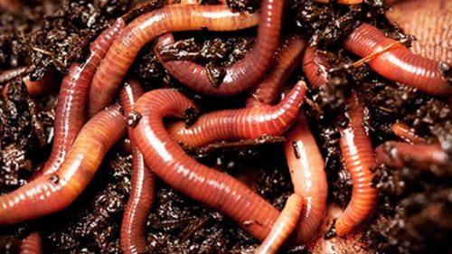 Навозный червь фото