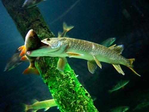 Щука рыба