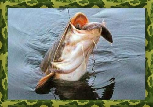 Оснастка для ловли сома на жерлицы