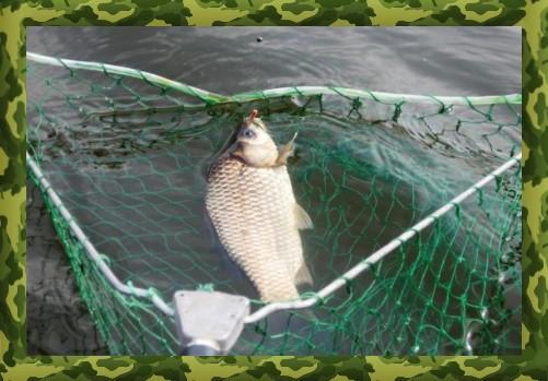 Насадки для ловли прудового карася на донку
