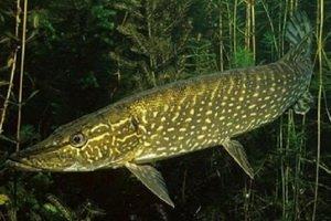 Ловля хищной рыбы