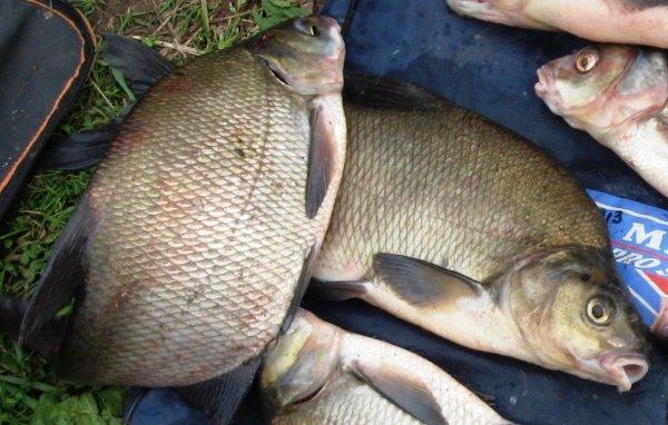 Рыбалка на леща маховой удочкой