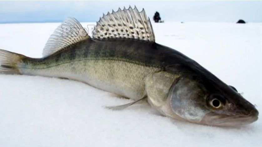 Как ловить судака на блесну зимой