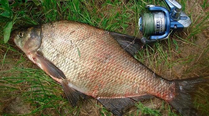 Рыбалка на леща фидером осенью на течении