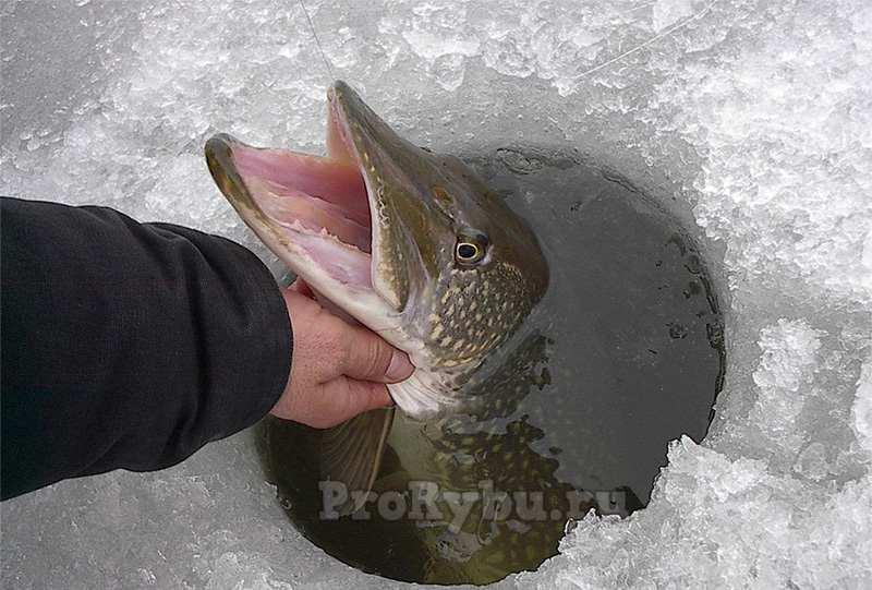 Ловля хищной рыбы по первому льду