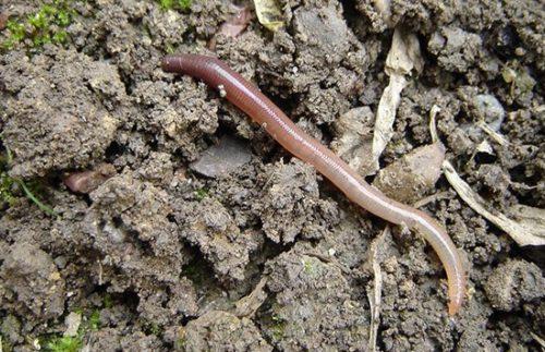 Подлистник фото червь