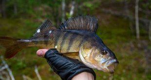 рыбалка окунь май