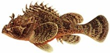 Ёрш-скорпена черноморский