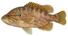 Вармоус фото рыбы