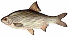 Вобла фото рыбы