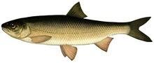 Вырезуб фото рыбы