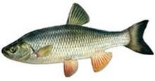 Голавль фото рыбы