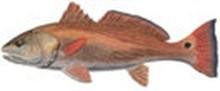 Горбыль красный фото рыбы