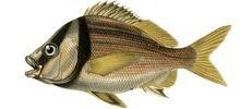 Горбыль орлиный фото рыбы