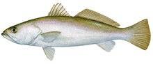 Горбыль песчаный фото рыбы