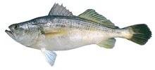 Горбыль полосатый фото рыбы