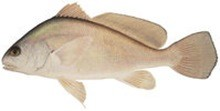 Горбыль пресноводный фото рыбы