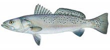 Горбыль пятнистый фото рыбы