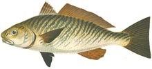 Горбыль светлый фото рыбы