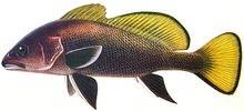 Горбыль тёмный фото рыбы