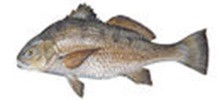 Горбыль чёрный фото рыбы