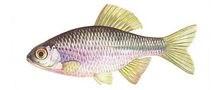 Горчак фото рыбы