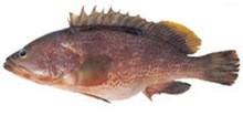 Группер краснопятнистый фото рыбы