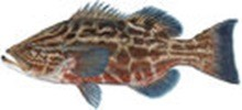 Группер чёрный фото рыбы