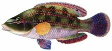 Губан-зеленушка фото рыбы