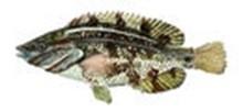 Губан-перепелка фото рыбы