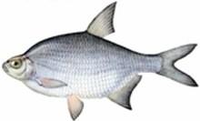 Густера фото рыбы