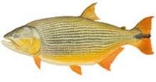 Дорадо золотой фото рыбы