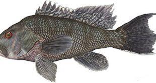 Лаврак фото рыбы