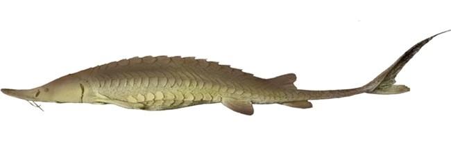 Лопатонос обыкновенный фото