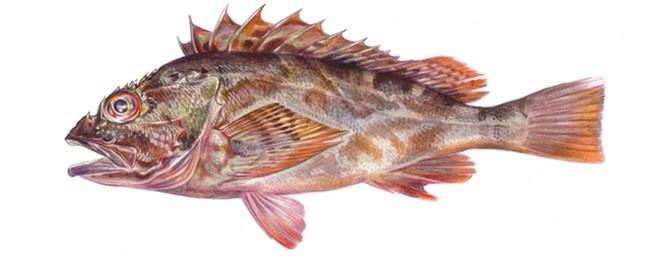 Морской окунь мраморный фото