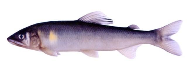Рыба «Айю» фото и описание