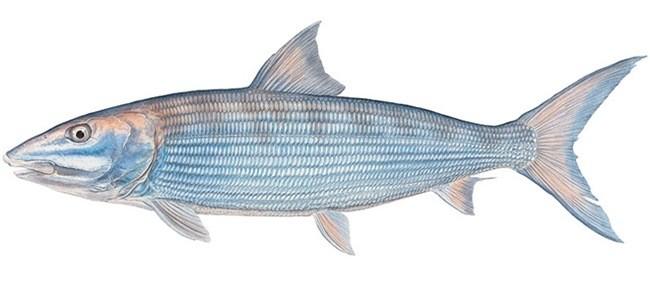 Рыба «Албула» фото и описание