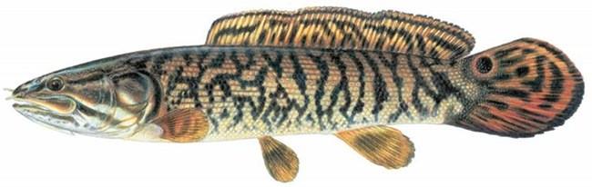 Рыба «Амия» фото и описание