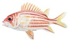 Рыба-белка