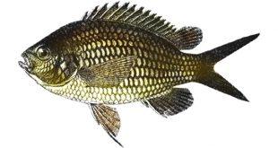 Рыба-ласточка фото