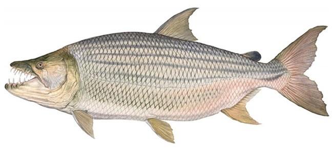 Тигровая рыба африканская большая фото