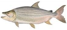 Тигровая рыба африканская большая