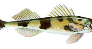 чоп рыба фото