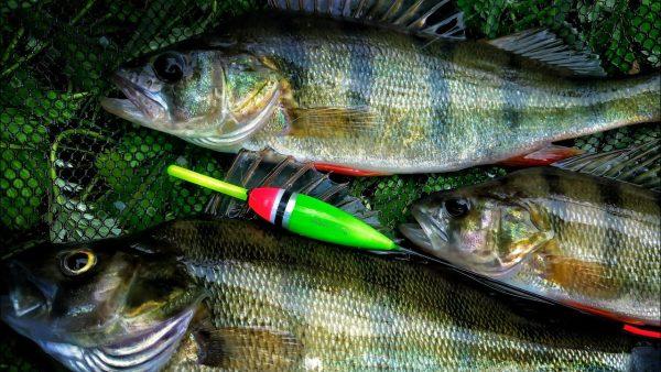 ВИДЕО: Дерзкие поклёвки окуня на живца. Рыбалка на поплавок крупным планом