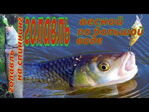 ВИДЕО: Ловля голавля весной на спиннинг. Удачная рыбалка на малой реке.