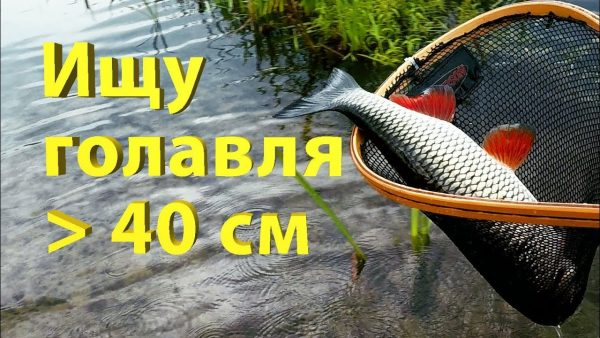 ВИДЕО: Поиск и поимка трофейного голавля на малой реке.